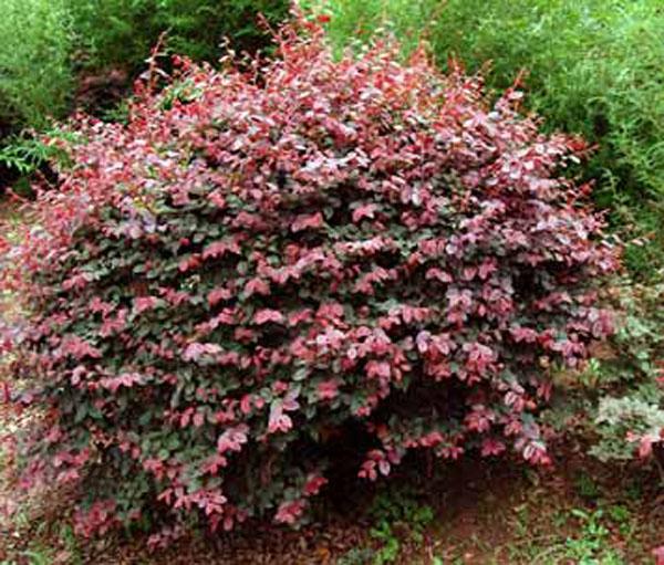 红花继木小苗,红花继木球;         :              红花继木; 红花